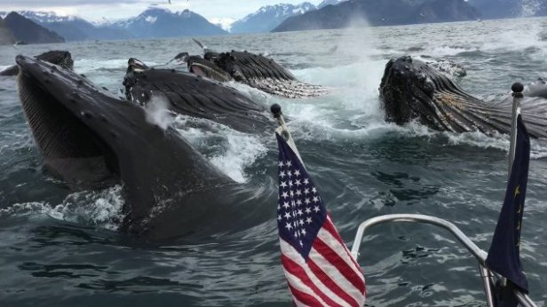 Brad-Rich-and-Tony-Flanders-whales-surface-by-fishing-boat-while-bubble-net-feeding-in-Resurrection-Bay-near-Seward-Alaska.